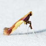 0641 – Caloptilia superbifrontella