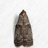 5688 - Birch Tubemaker - Acrobasis betulella