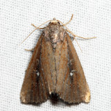 9690 - White-dotted Groundling - Condica videns