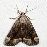 8876 – Little Nymph Underwing – Catocala micronympha