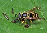 Eastern Yellowjacket eating a click beetle - Vespula maculifrons