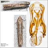 2023.9 - Scrobipalpula sp. IMG_3176.jpg