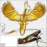 0595 - Caloptilia bimaculatella? sp.2 IMG_3199.jpg
