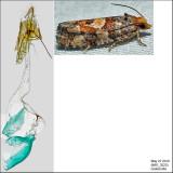 3074 - White Pinecone Borer - Eucosma tocullionana IMG_3223.jpg