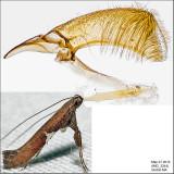 0639 - Caloptilia stigmatella IMG_3244.jpg