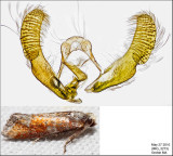 3066 - Eastern Pine Shoot Borer - Eucopina gloriola IMG_3273.jpg