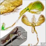 0595 - Caloptilia bimaculatella? sp.2 IMG_3276