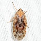 Epiptera sp.