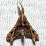 8398 - Faint-spotted Palthis - Palthis asopialis