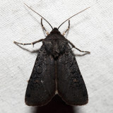 10803 - Fleece-winged Dart - Euxoa velleripennis