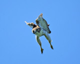 Red-tailed Hawk - Buteo jamaicensis (diving at a squirrel)