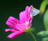 Gray Hairstreak - Strymon melinus