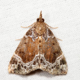 8445 – White-lined Hypena – Hypena abalienalis