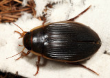 Understriped Diving Beetle (female) - Dytiscus fasciventris
