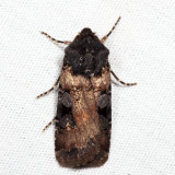 10807 - White-striped Dart - Euxoa albipennis