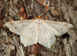 6342 – Red-headed Inchworm Moth – Macaria bisignata