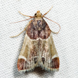 5510 - Meal Moth - Pyralis farinalis