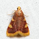 5524 - Clover Hayworm Moth - Hypsopygia costalis