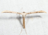 6234 - Morning-glory Plume Moth - Emmelina monodactyla