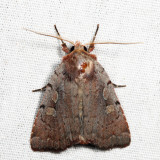 10967 - Southern Variable Dart - Xestia elimata