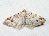 6344 - Pale-marked Angle - Macaria signaria