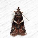 6012 - Crescent-winged Caudellia - Caudellia apyrella