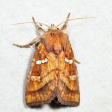 9480 - Bracken Borer - Papaipema pterisii