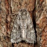 9980 - Acadian Sallow - Xylotype arcadia