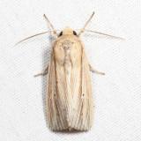 10446 - Many-lined Wainscot - Leucania multilinea