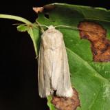 10440 - Linen Wainscot - Leucania linita