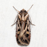 10670 – Dingy Cutworm – Feltia jaculifera