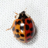 two-toned Multicolored Asian Lady Beetle - Harmonia axyridis