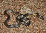 Northern Ring-neck Snake - Diadophis punctatus edwardsi