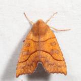 9952 - Scalloped Sallow - Eucirroedia pampina