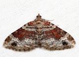 7388 - Red Twin-Spot - Xanthorhoe ferrugata