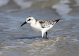 Sanderling - Calidris alba