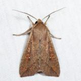 10438 - Armyworm Moth - Mythimna unipuncta