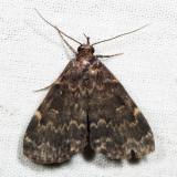 8334 - Glossy Black Idia - Idia lubricalis
