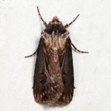 10651 – Venerable Dart – Agrotis venerabilis
