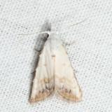8991 - Sorghum Webworm Moth - Nola cereella