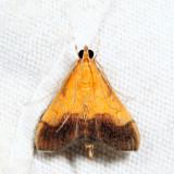 5040 - Bicolored Pyrausta - Pyrausta bicoloralis