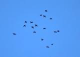 Double-crested Cormorants - Phalacrocorax auritus