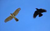 Coopers Hawk chased by an American Crow