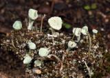 Pixie Cup Lichen - Cladonia chlorophaea