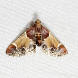 5510- Meal Moth - Pyralis farinalis