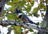 Belted Kingfisher - Megaceryle alcyon