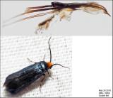 0181 - Maple Leafcutter Moth - Paraclemensia acerifoliella