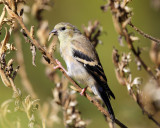 American Goldfinch - Spinus tristis