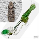 Pseudotelphusa sp. IMG_3330.jpg