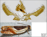 3365 - Ancylis spiraefoliana complex